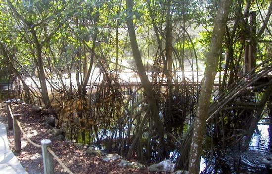 ... grove of the red mangroves the water in these parts of the mangrove