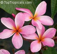 Plumeria rubra - Pink Frangipani 