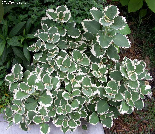 Plectranthus coleoides  Better Homes and Gardens