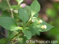Lippia dulcis, Phyla scaberrime, Lippia mexicana, Aztec Sweet Herb, Sweetleaf