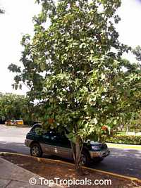 Cordia sebestena, Geiger Tree, Scarlet Cordia, Aloe Wood
