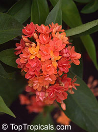 Ixora congesta Thai Flame