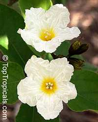 Cordia boissieri, Texas Olive, Anacahuita