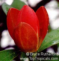 Magnolia grandis - seeds