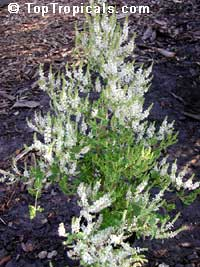 Iboza riparia, Tetradenia riparia, Musk Bush, Misty Plume Bush, Ginger Bush, Gemmerbos, Watersalie
