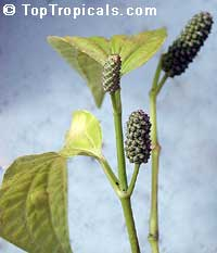 Piper sarmentosum, Chaa-plu, Vietnamese Pepper