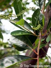 Citharexylum fruticosum, Fiddlewood
