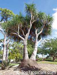 Beaucarnea recurvata, Nolina recurvata, Ponytail Palm, Pony Tail, Bottle Palm, Nolina, Elephant-foot Tree