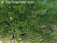 Zamia integrifolia, Zamia floridana, Coontie, Coontie Palm, Koonti