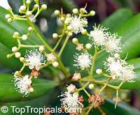 Pimenta racemosa, Caryophyllus racemosus, Bay Rum Tree