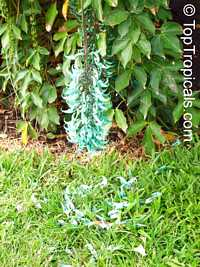 Strongylodon macrobotrys, Turquoise Jade Vine, Blue Jade Vine