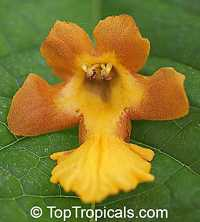 Gmelina arborea , GamharClick to see full-size image