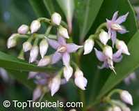 Ardisia elliptica , Shoebutton Ardisia