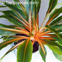 Chlorophytum orchidanteroides - Mandarin Plant