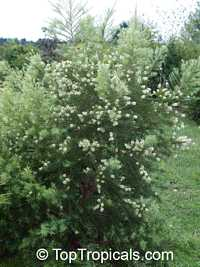 Melaleuca alternifolia , Tea Tree
