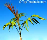 Chambeyronia macrocarpa, Red Leaf Palm, Red Feather Palm, Blushing Palm