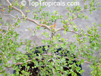 Bucida spinosa, Spiny Black Olive, Ming Tree