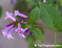 Russelia campechiana, Purple Russelia
