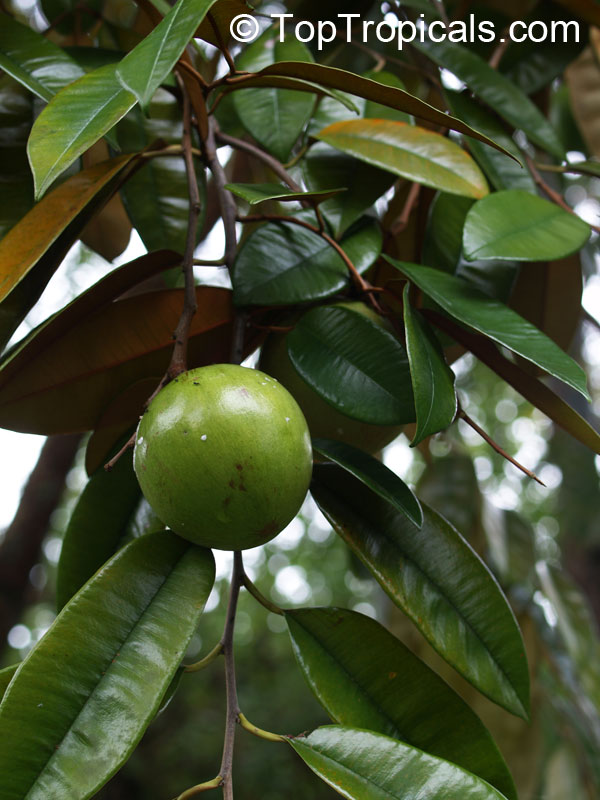 caimito leaves Caimito leaves kaymito (chrisophyllum cainito) is a common angiosperm in tropical countries this fruit-bearing tree has leathery oblong leaves that are dark green.