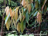 Cinnamomum sp., Cinnamon