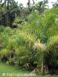 Bactris gasipaes, Peach Palm, Pixbae, Pewa