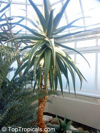 Aloe africana, African Aloe