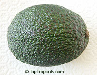 Persea americana, Persea gratissima, Avocado, Alligator Pear, Aguacate, Abacate