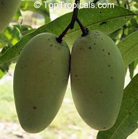Mangifera indica - Cac Mango, Grafted