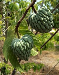 Annona squamosa, Sugar apple, Custard Apple, Sweetsop-Anon, Sweetsop, Atis, Sitafal, Seetha Payam, Araticum, Sharifa