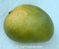 Mangifera indica - Alphonso Mango, Grafted
