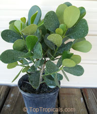 Clusia fluminensis Nana - Dwarf Autograph Tree