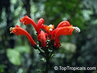 Centropogon sp., CentropogonClick to see full-size image