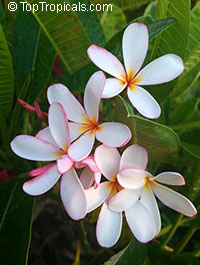 Plumeria obtusa - Dwarf Singapore Pink, grafted 