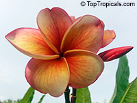 Plumeria Thong Taweechok