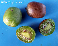 Actinidia arguta, Hardy Kiwifruit, Kiwi Berry, Arctic Kiwi, Baby Kiwi, Dessert Kiwi, Grape Kiwi, Northern Kiwi  Click to see full-size image