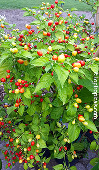 Capsicum frutescens, Wiri Wiri PepperClick to see full-size image
