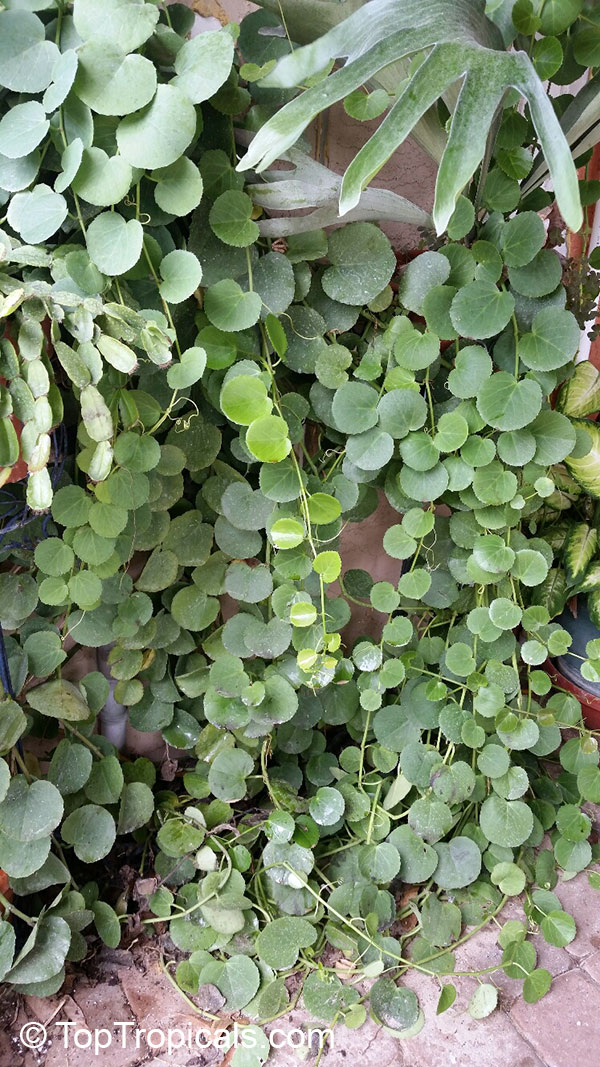 Hoverboards together with Cissus Striata besides Hi Tech Pro Igf 1 as well Total War moreover Cissus. on cissus quadrangularis