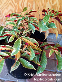 Excoecaria cochinchinensis, Excoecaria bicolor, Chinese croton, Variegated Leaf