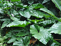 Philodendron giganteum - Giant Philidendron