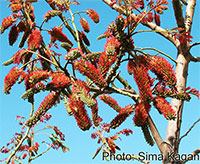 Acrocarpus fraxinifolius - seeds  Click to see full-size image