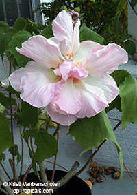 Hibiscus mutabilis, Confederate Rose, Cotton Rose, Common Rose Mallow
