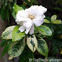 Gardenia variegata - Variegated gardenia