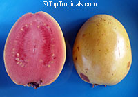 Psidium guajava Super Sweet - seeds