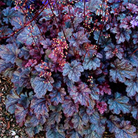 Heuchera Plum Pudding - Alumroot, Coral Bells