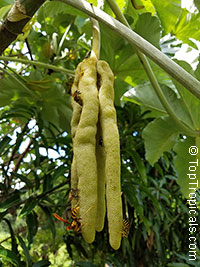 Cecropia peltata - seeds  Click to see full-size image