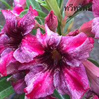 Adenium Moung Taweesab Purple, GraftedClick to see full-size image