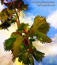 Acalypha wilkesiana - Haleakala (Curly Q)  Click to see full-size image