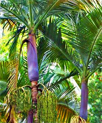 Archontophoenix purpurea - Purple King Palm  Click to see full-size image
