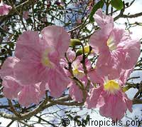 Tabebuia heterophylla, Pink Trumpet TreeClick to see full-size image
