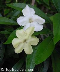 Brunfelsia manaca